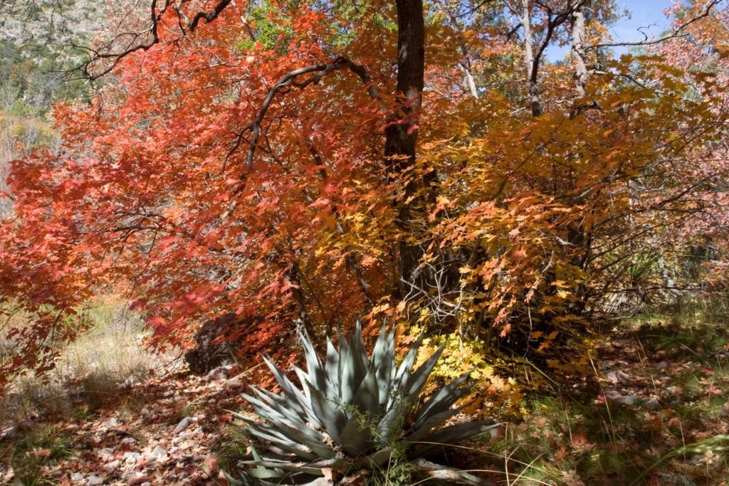 Agave in Fall