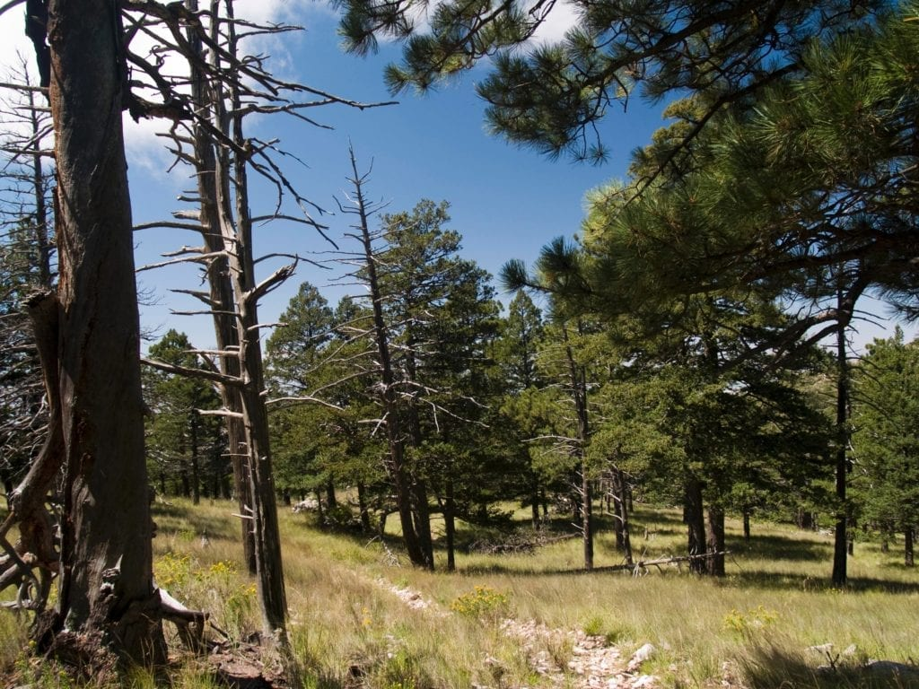Alpine meadows, Ponderosa Pines, and Douglas Firs along the Bush Mountain Trail provide a scene not typically associated with west Texas.