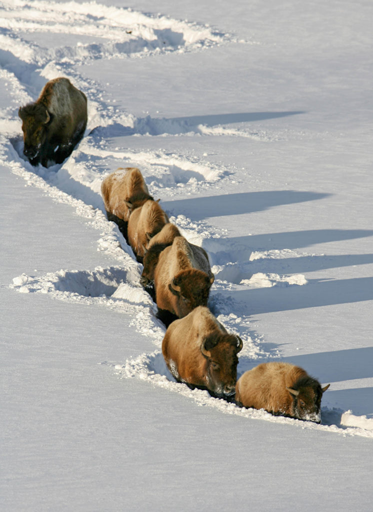 Six bison are walking in a trail made in deep snow.