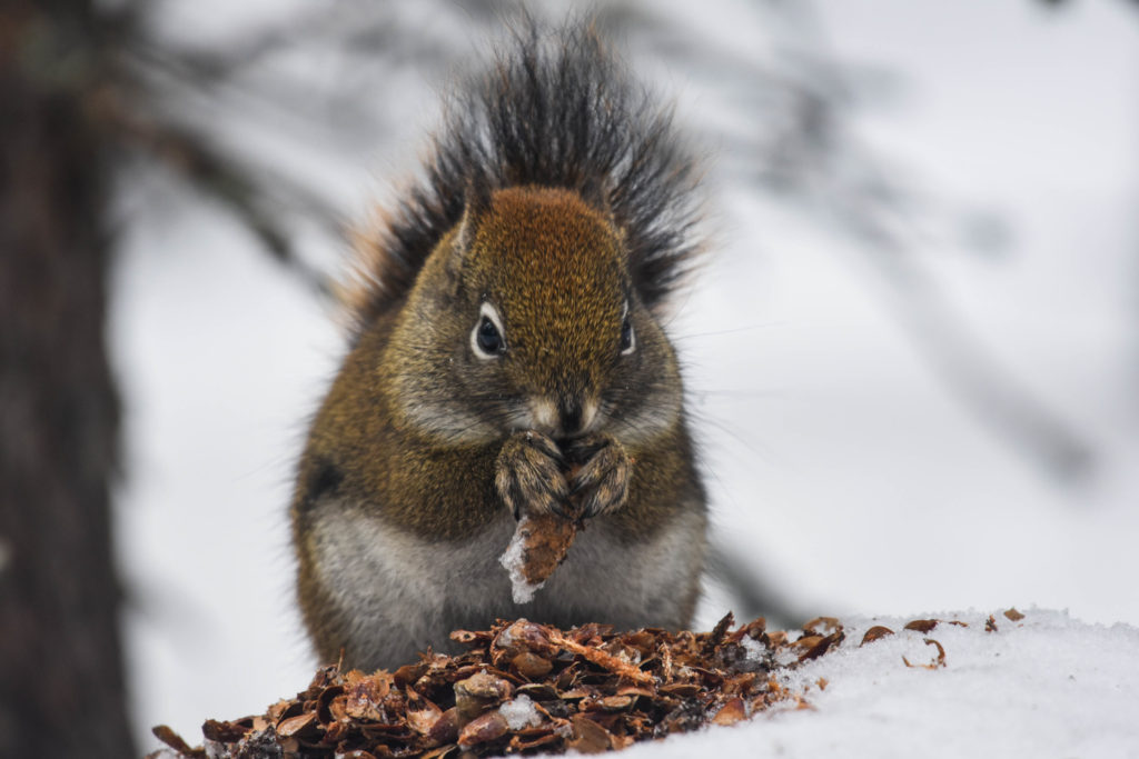 A red squirrel chewing through spruce cones in the snow.