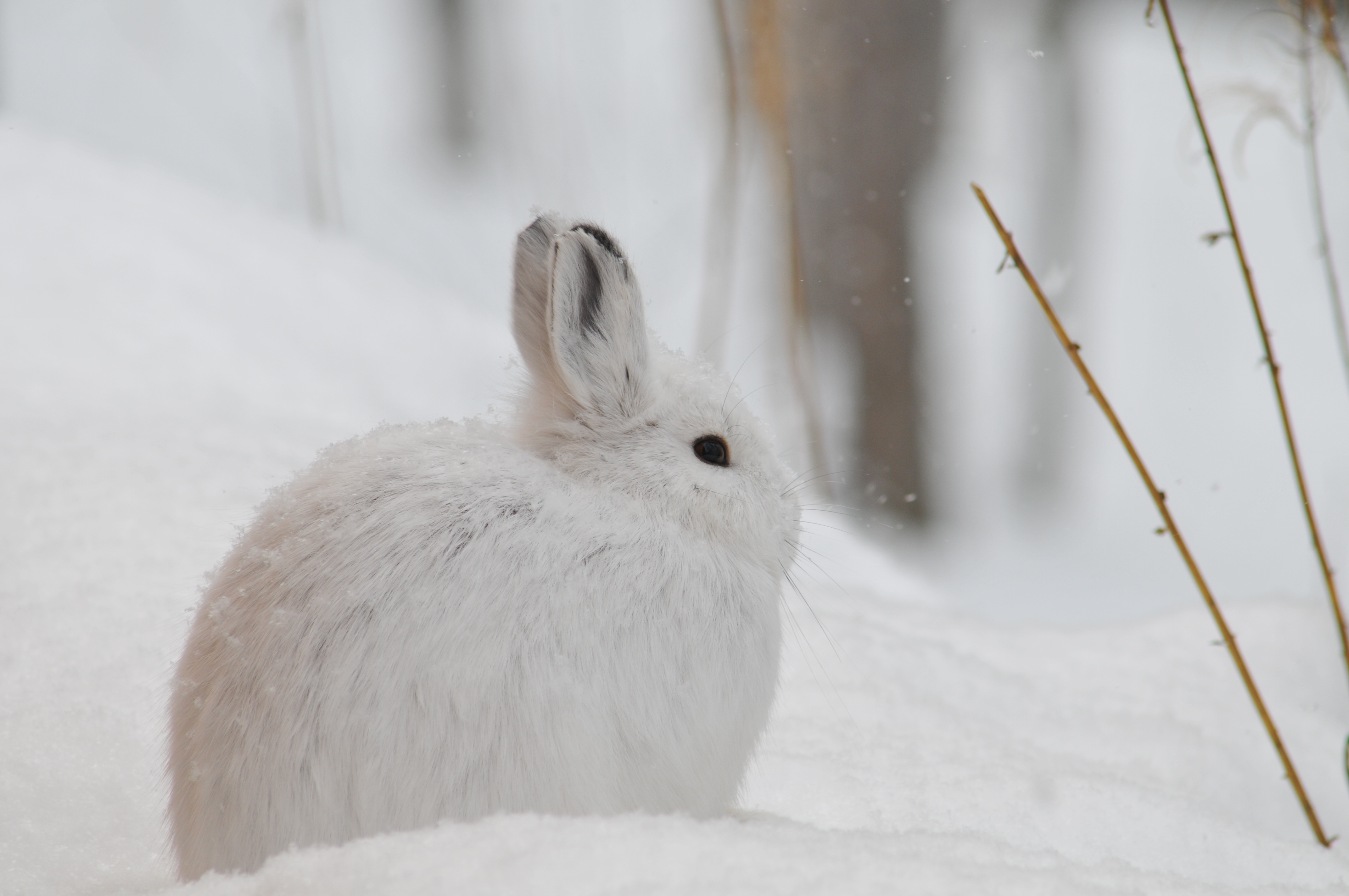 a white hare sitting in the snow