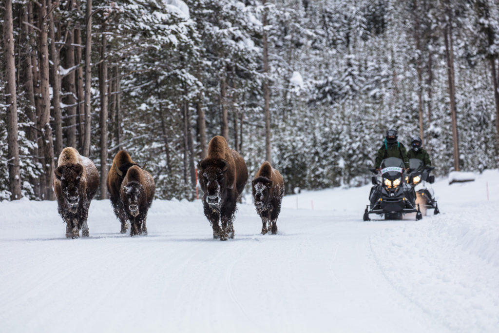 Five bison walking towards the camera with two snowmobiles behind them.