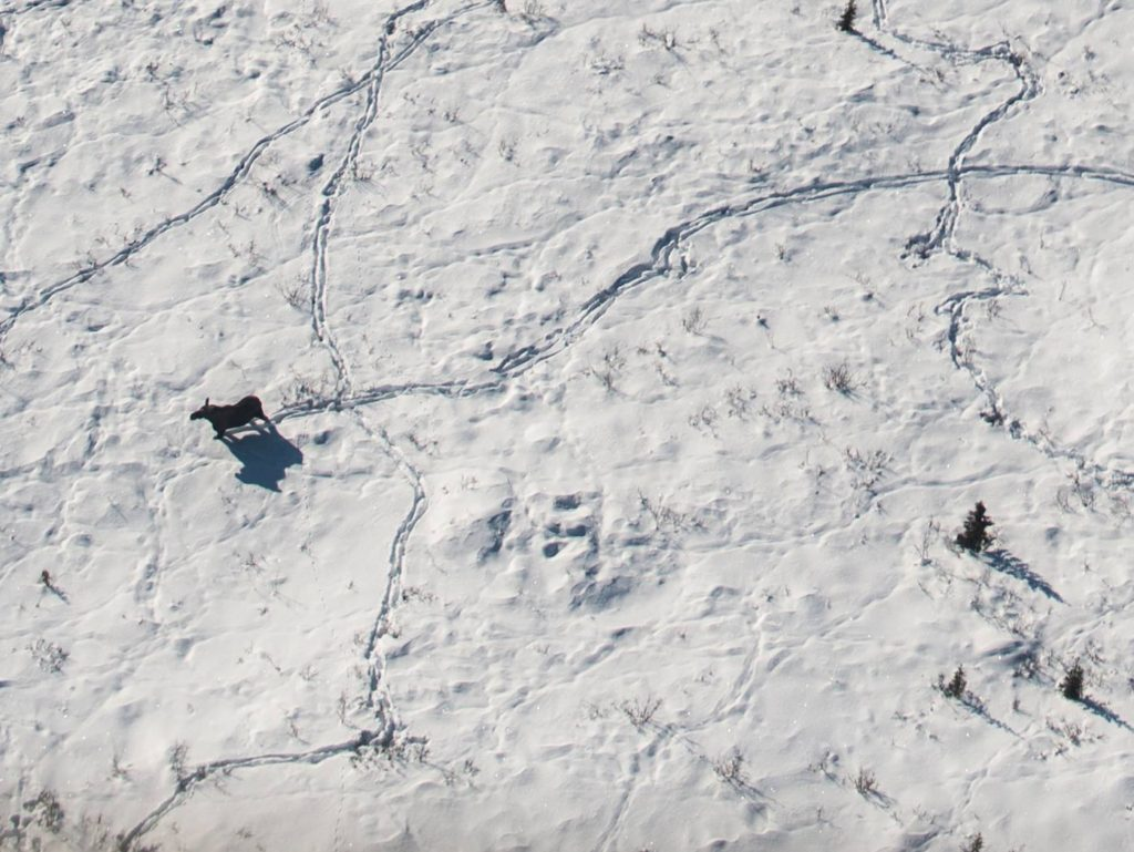 Moose making tracks in the snow, Gates of the Arctic National Park and Preserve, 2015.