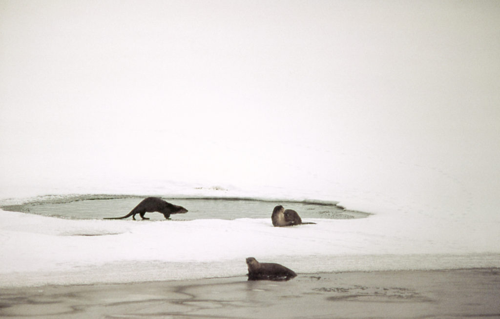Three otter rest by a hole in the ice