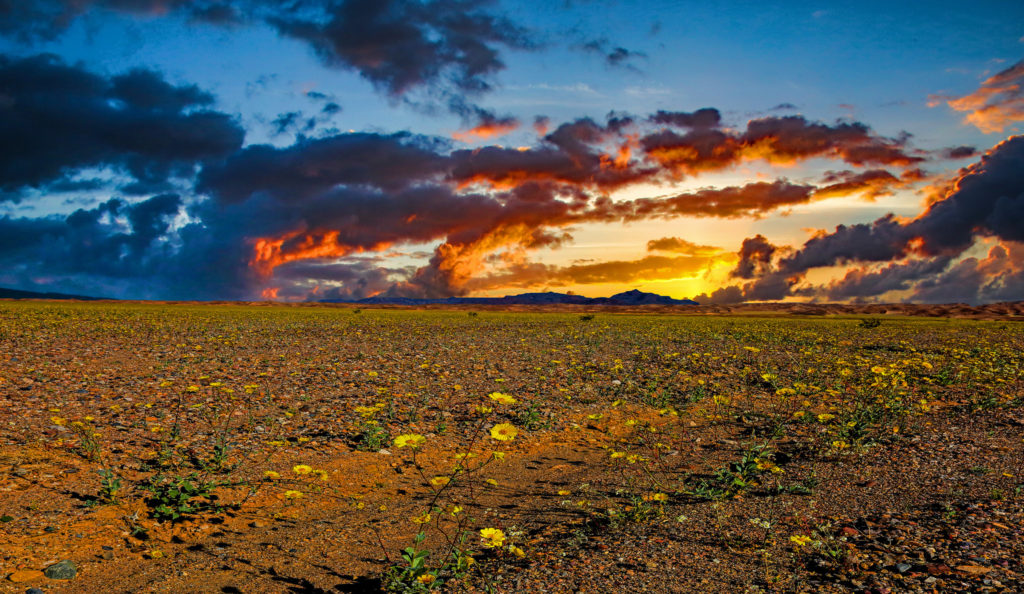 The sun sets over fields of yellow flowers in Death Valley National Park.